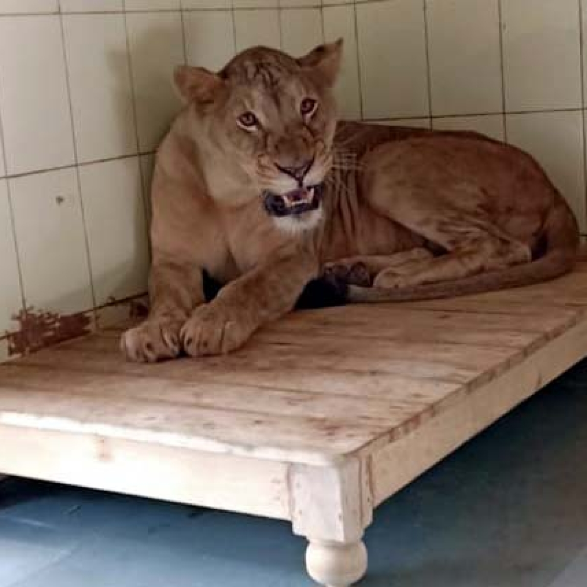 Bhopal: Pair of lion brought from CG to be kept in quarantine for 15 more days