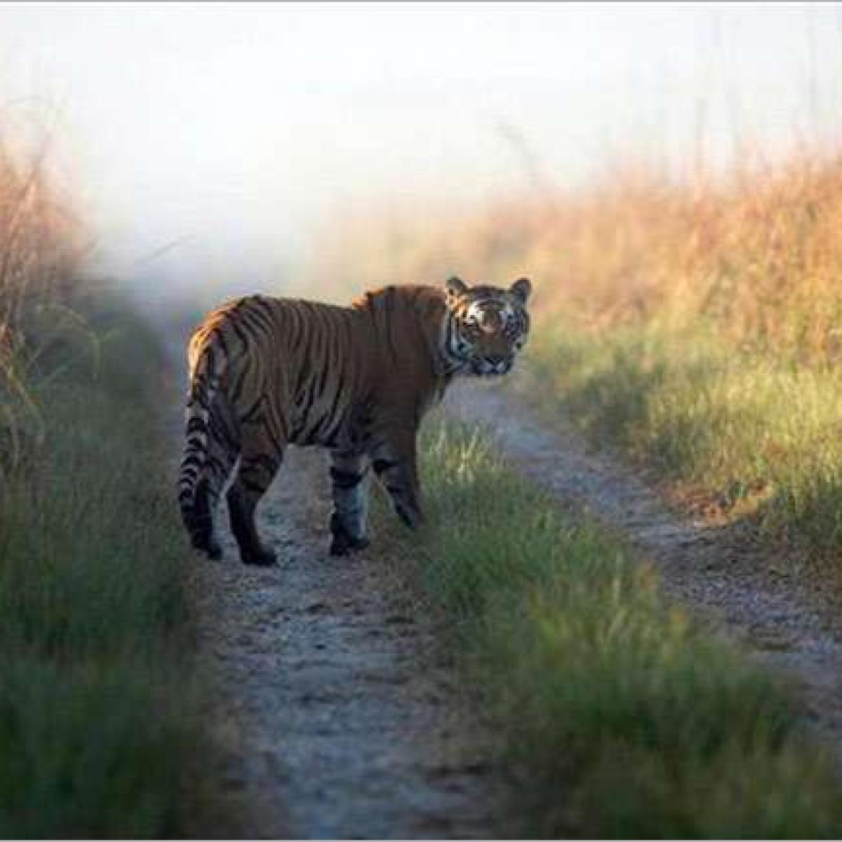 Maharashtra: Tiger kills woman in Chandrapur