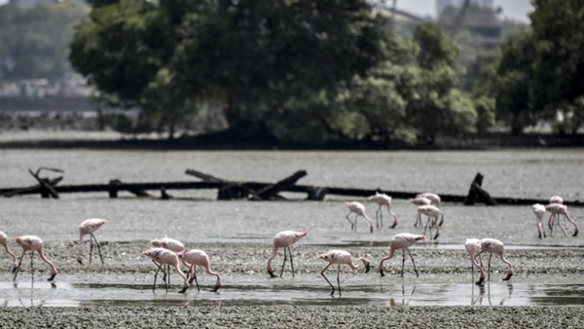 Flamingos continue to flock at Sewri mudflats despite ongoing work of MTHL