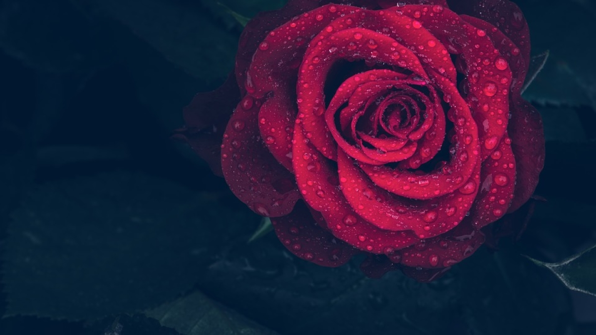 Rose Day 2020: Best places to buy roses in Mumbai (online and offline)