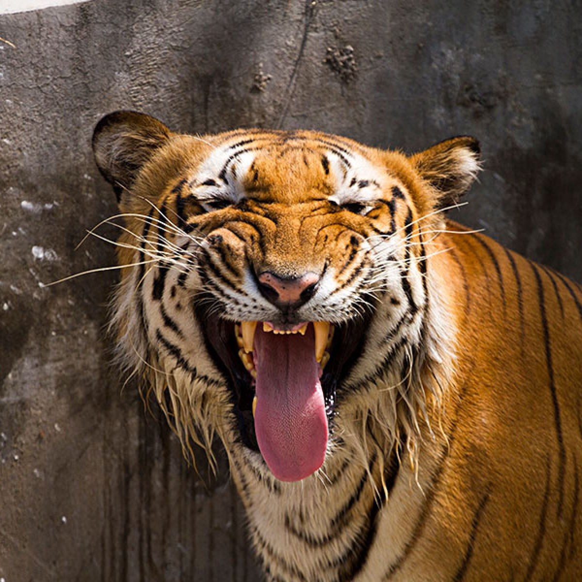 Tigress Sundari to be brought back in MP only if her health permits: Principal Chief Conservation of Forest
