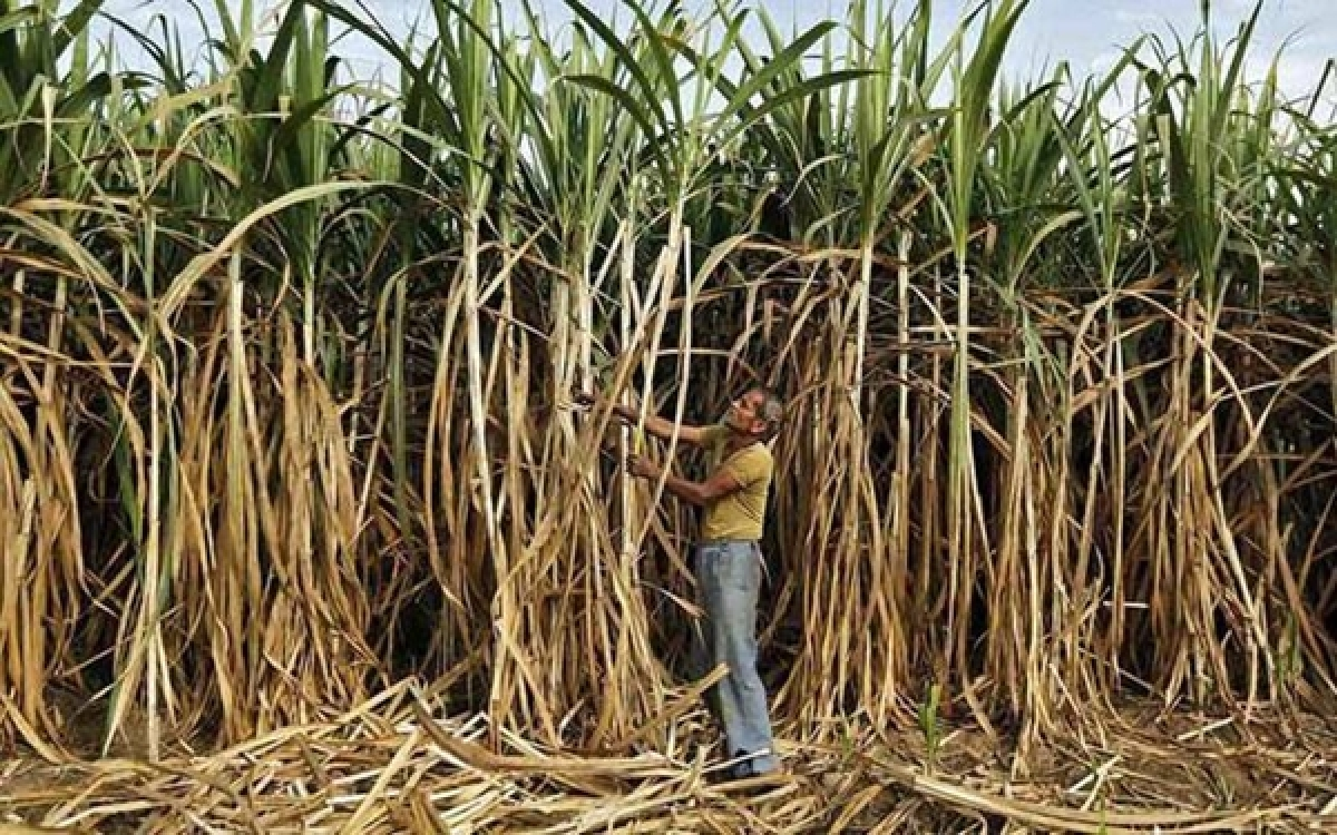 1.31 lakh sugarcane cutting labourers