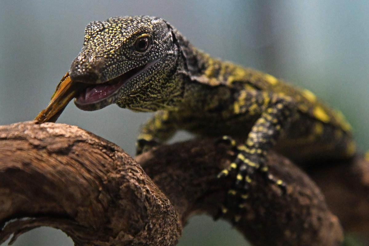 Nearly-extinct baby crocodiles in Cambodia
