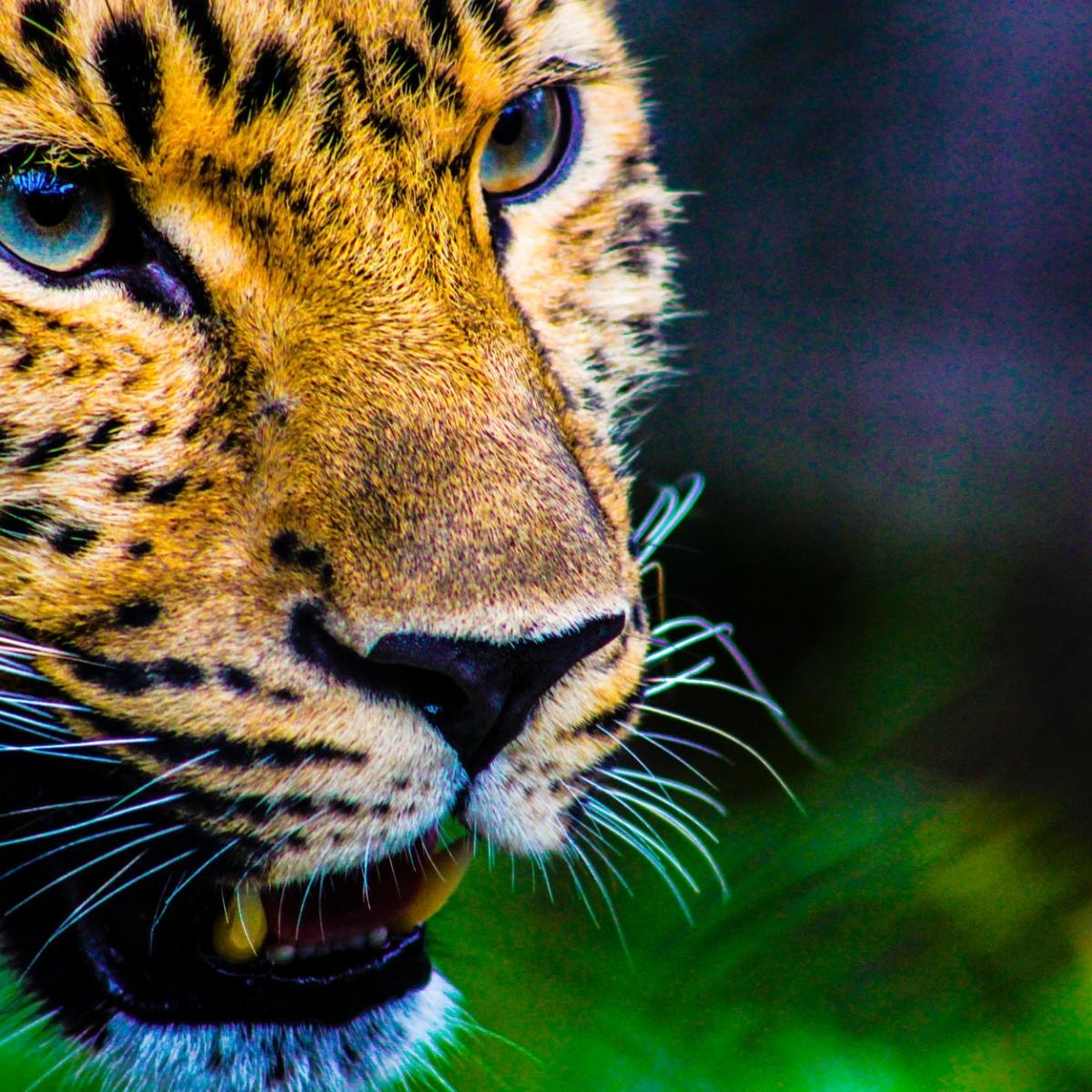 India prepared to bring back cheetah: Wildlife experts