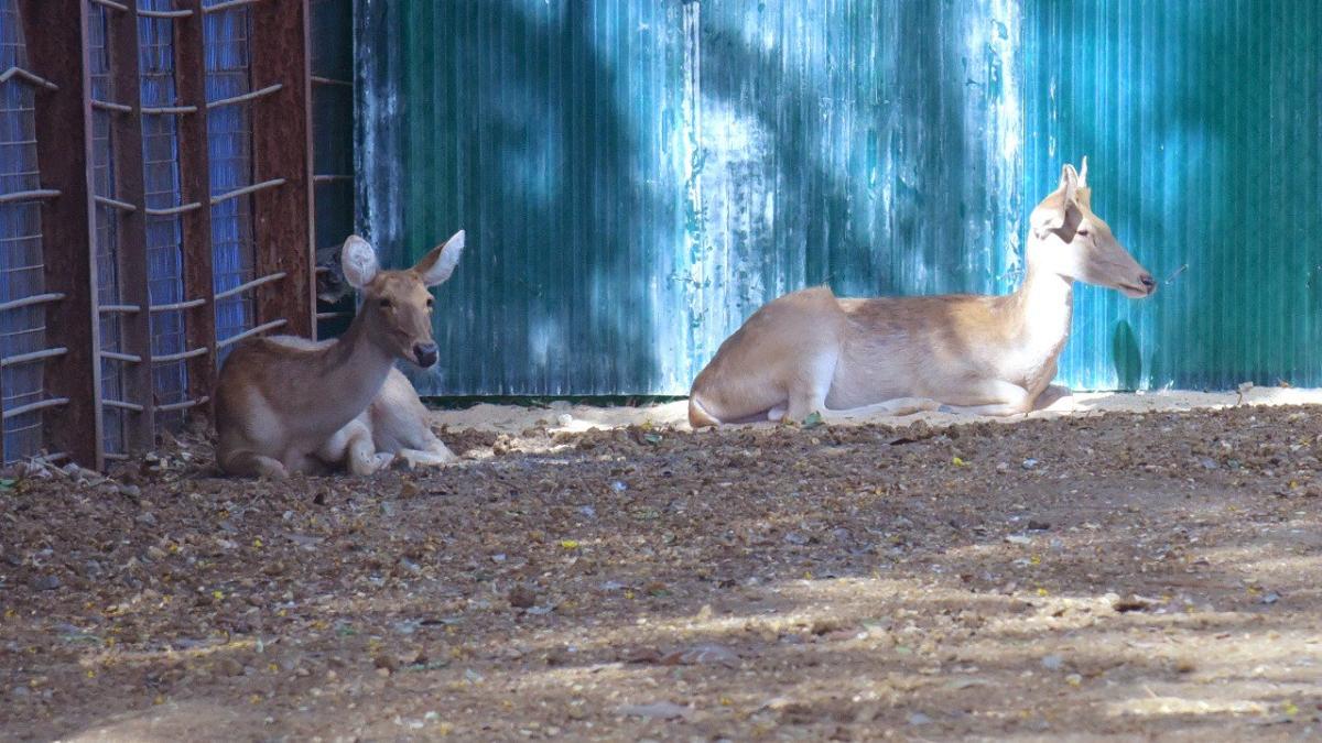 Mumbai: One of swamp deer duo in Byculla zoo dies