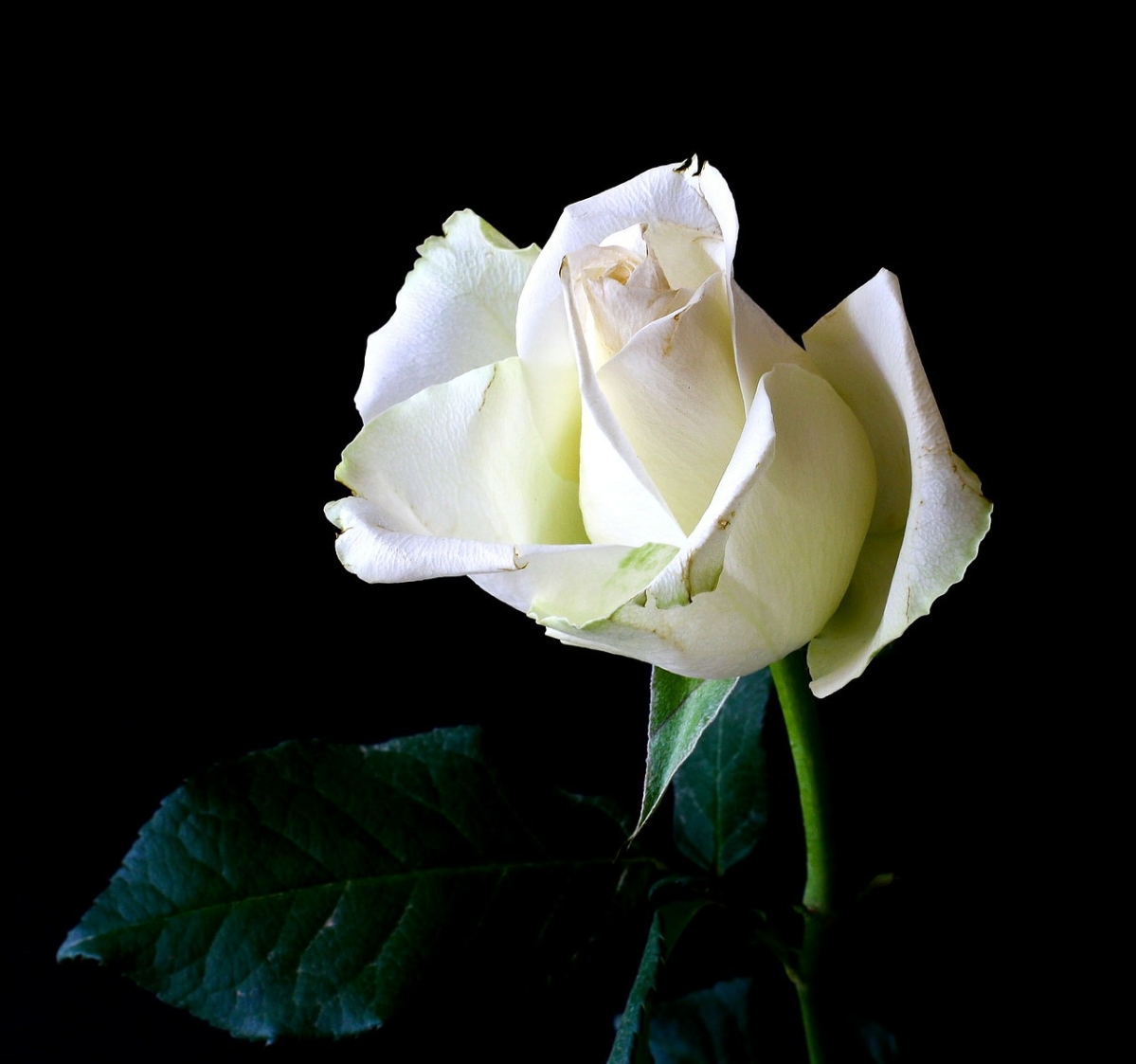 Rose Day 2020: What do different colours of roses mean?