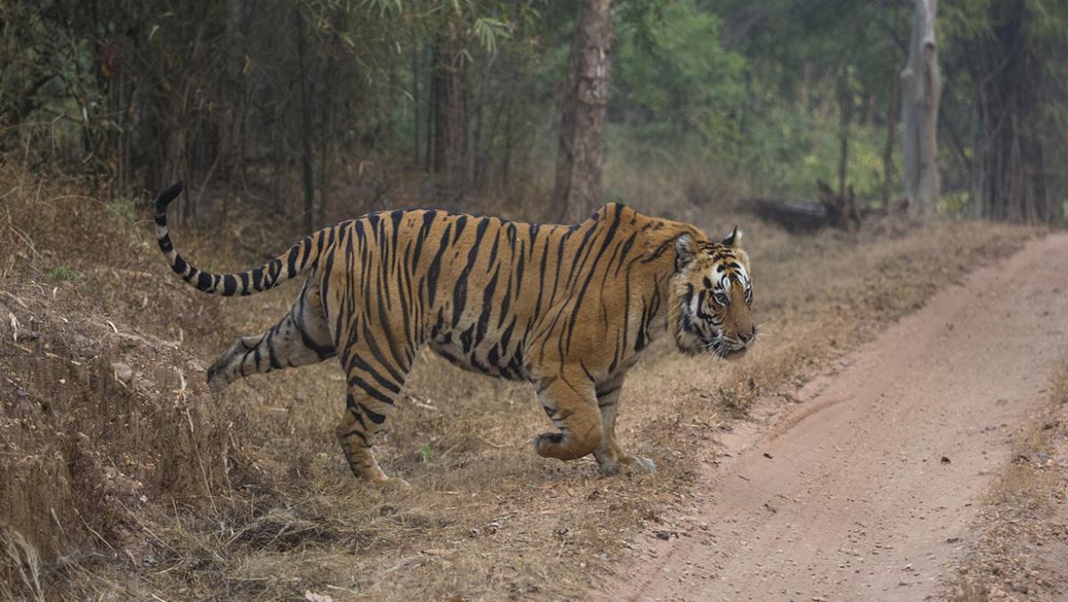 Madhya Pradesh: Six tourists injured as vehicle turns turtle in Bandhavgarh reserve