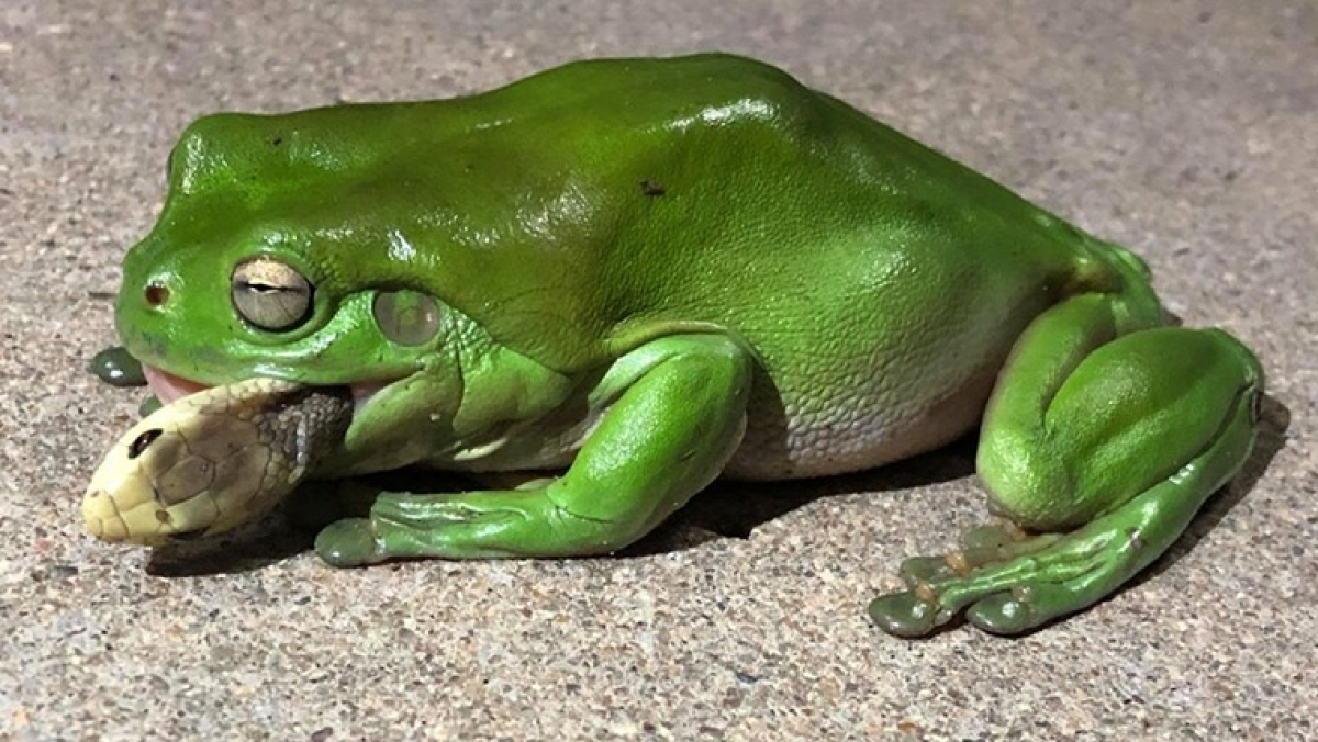 Foodie alert: Forget kissing the princess, frog survives after eating one of world's deadliest snakes