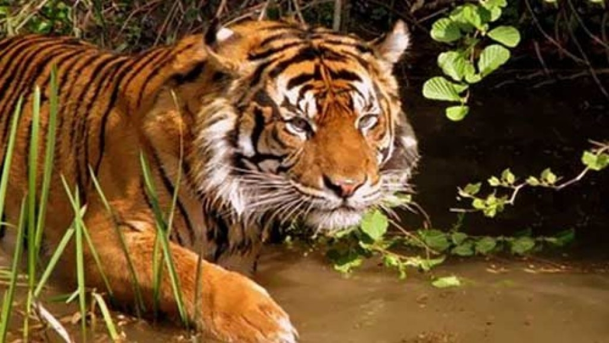 Bhopal: Tiger mauls woman; villagers torch eco-center, block road