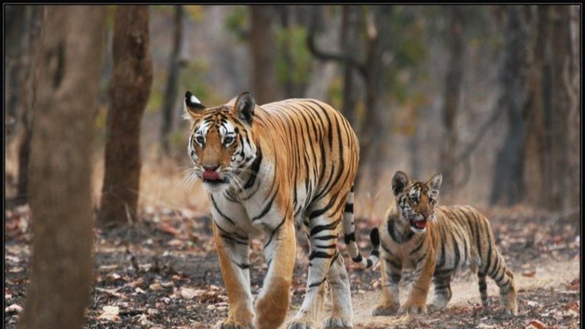 Collarwali tigresses at Pench Tiger Reserve (PTR).