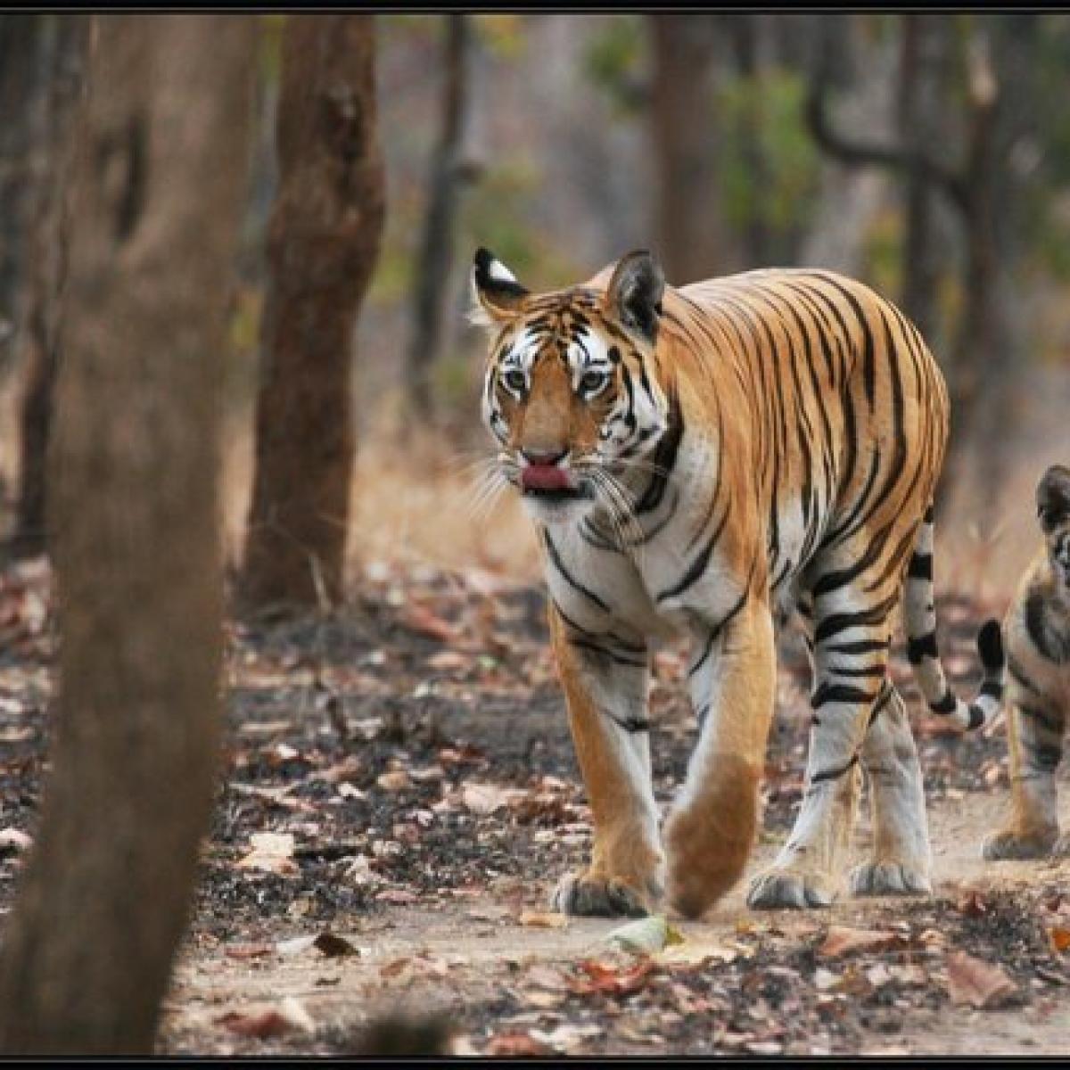 Bhopal: Tiger mauls toddler to death in Bineka range