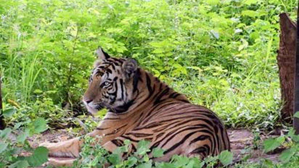 Tigress Sundri