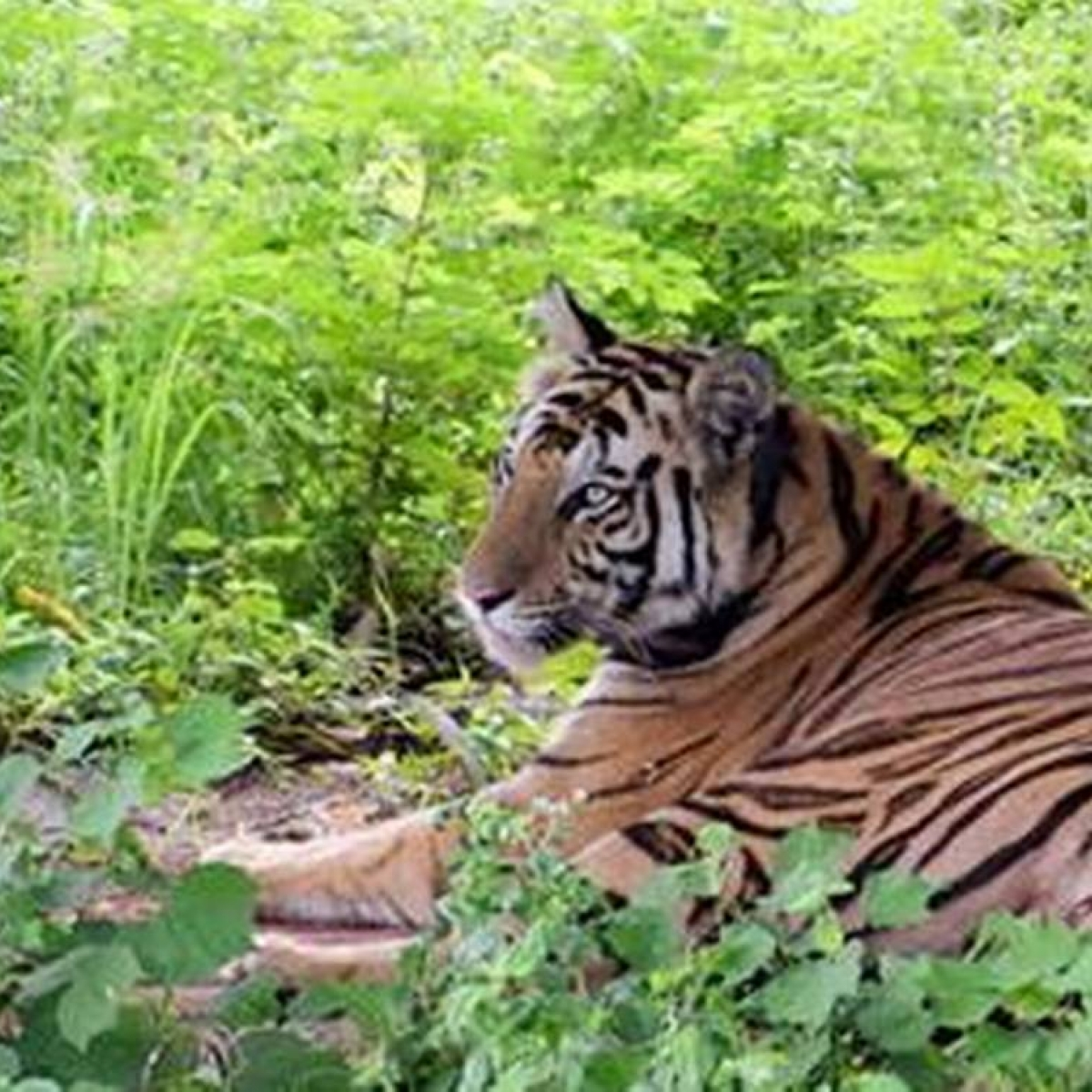 Madhya Pradesh: If all goes well,  Tigress 'Sundri' will be back in Kanha Tiger Reserve soon