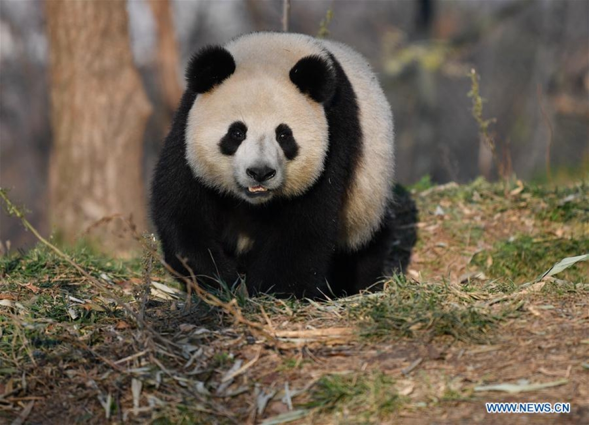 Giant panda Xiao Xin is seen at Qinling Research Base of Giant Panda Breeding of Shaanxi Academy of Forestry in Xi'an, northwest China's Shaanxi Province, Dec. 3, 2019.