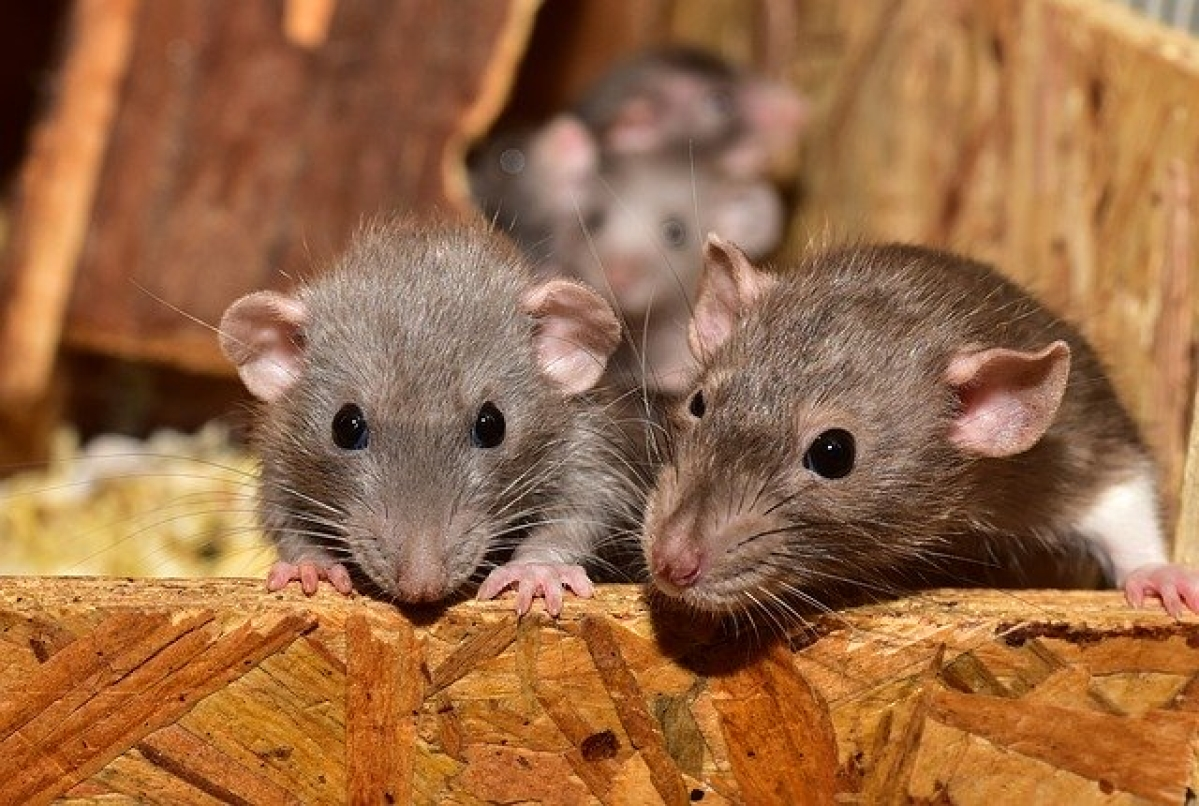 Hantavirus becomes top trend on Twitter – why it's not another coronavirus