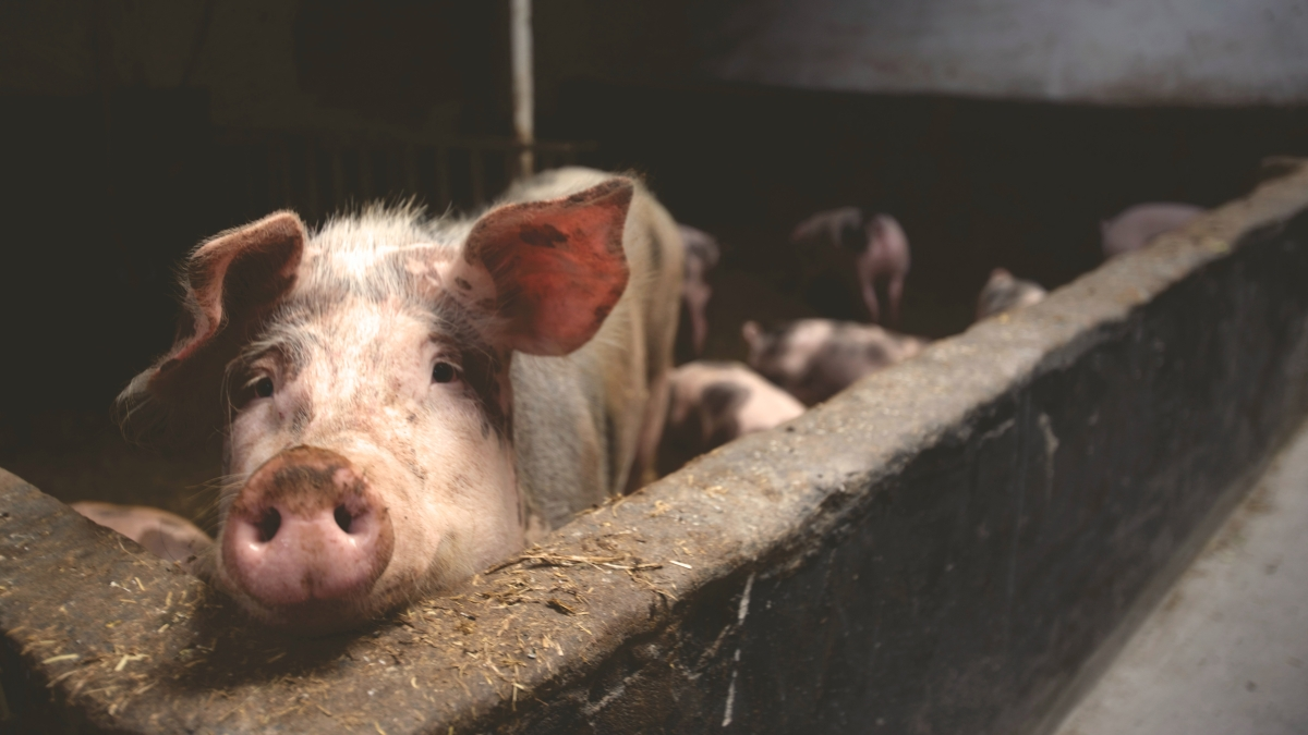 Meghalaya government on Monday banned the import of pigs after a spike in deaths of the animal was reported from some districts in Assam and Arunachal Pradesh