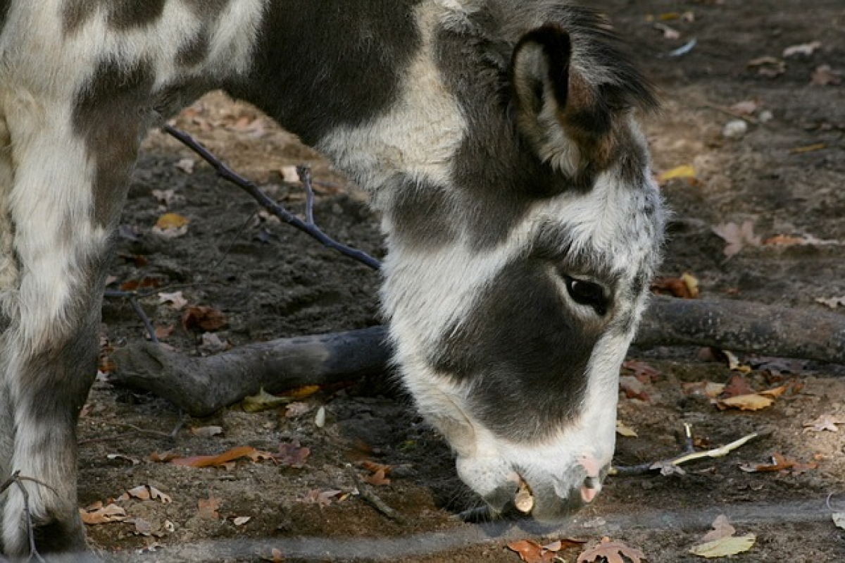 Miniature donkey in North Carolina to crash video conference calls