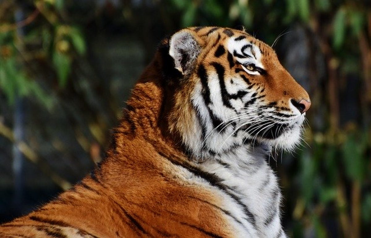 4 tigers, 3 lions in New York zoo test coronavirus positive