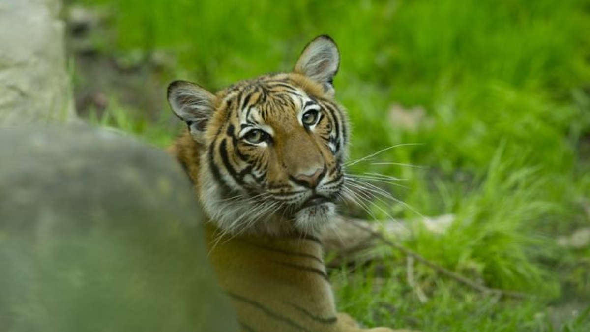 Coronavirus update: Tiger at New York zoo tests positive