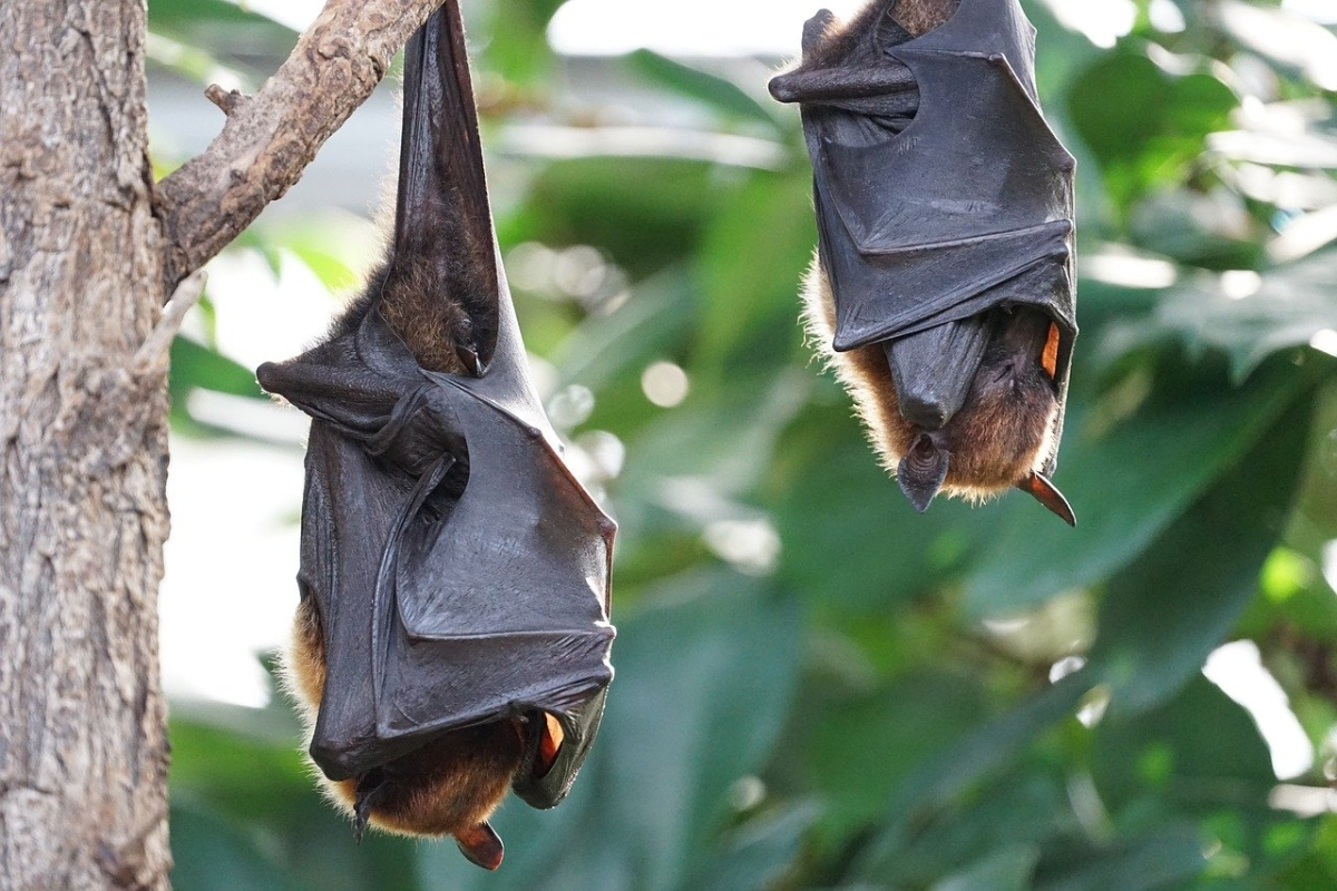 Rousettus and Pteropus: Here's all you need to know about the coronavirus-carrier Indian bat species