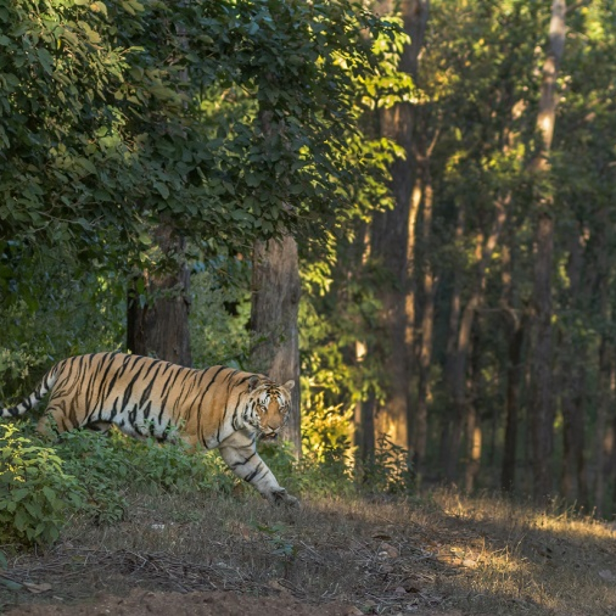 Lessons from the world of tigers – Looking at the coronavirus quarantine through a wildlife photographer's lens