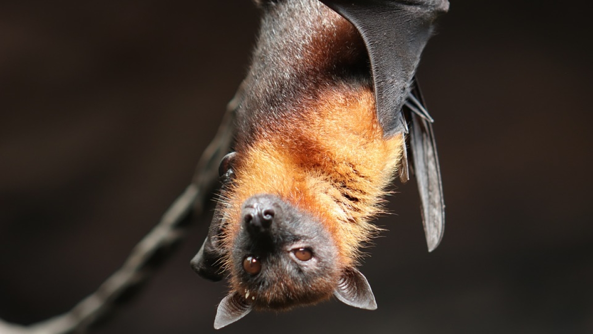 Harming bats is a punishable offence: Rajasthan's Chief Wildlife Warden issues strict advisory