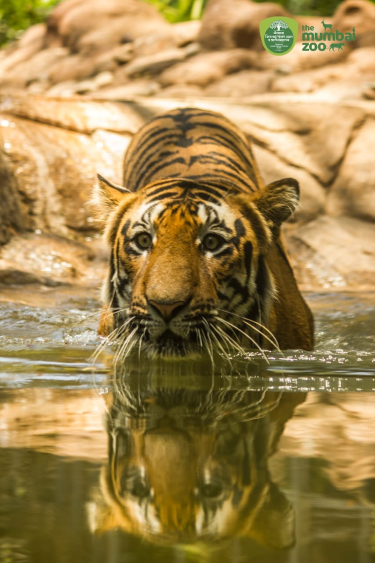 Watch: Majestic tiger Shakti is grace personified in first of its kind water enclosure in India