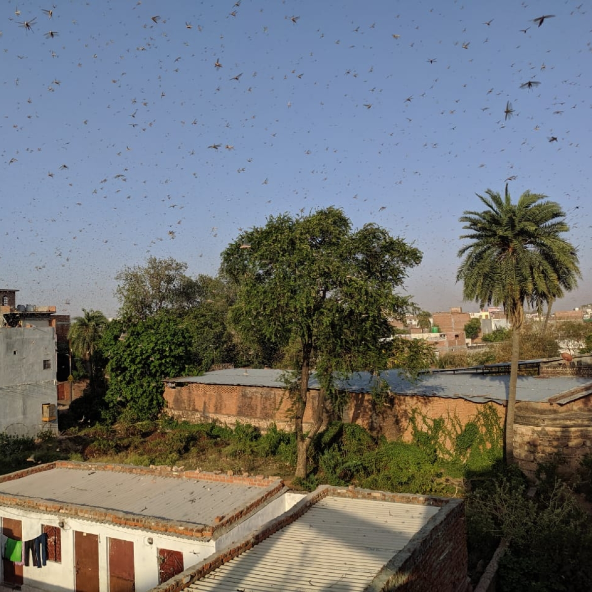 Delhi govt calls emergency meeting after swarms of locust attack Gurugram; to issue advisory soon