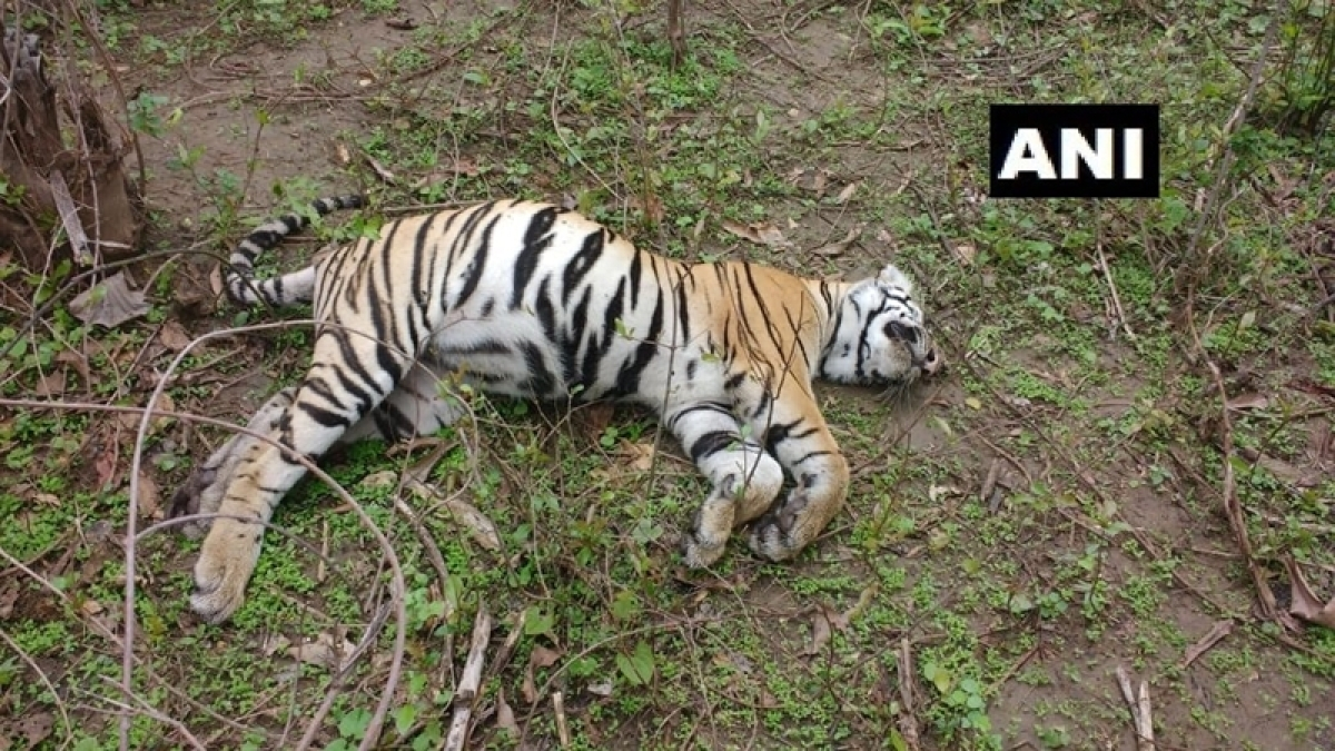 Madhya Pradesh:  Two more tigers die in 'Tiger State' forest; No poaching and no food-poisoning, reveals post mortem