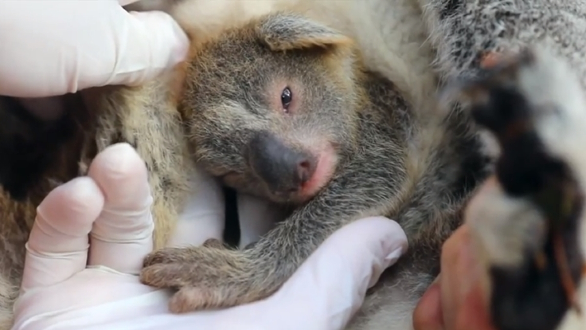First koala born since Australia's devastating bushfires; handlers name it 'Ash'