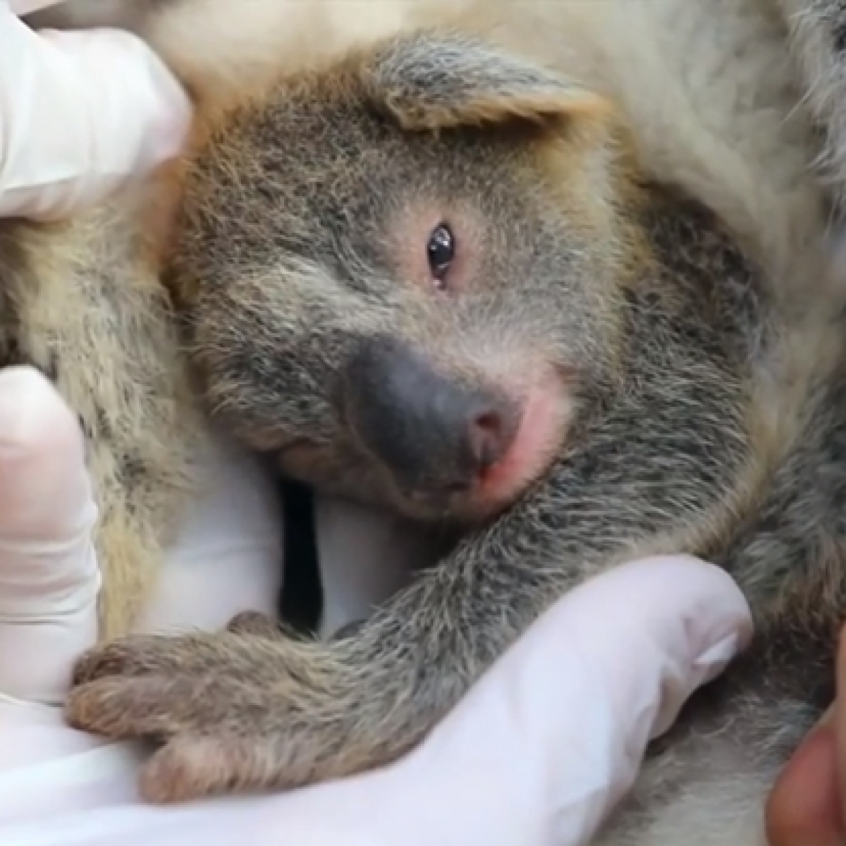 First koala born since Australia's devastating bushfires; handlers name it 'Ash'