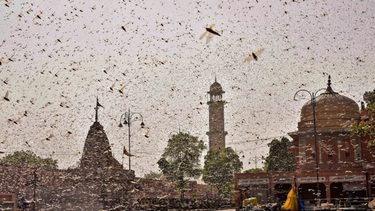What is locust plague? All you need to know swarms of desert locusts which swept Rajasthan