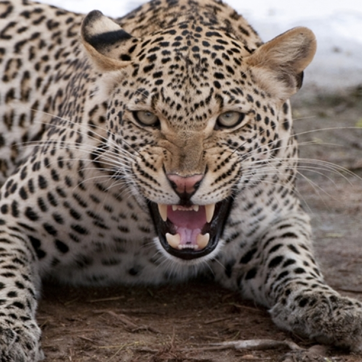 Watch: Leopard enters residential area in Nashik, attacks two people