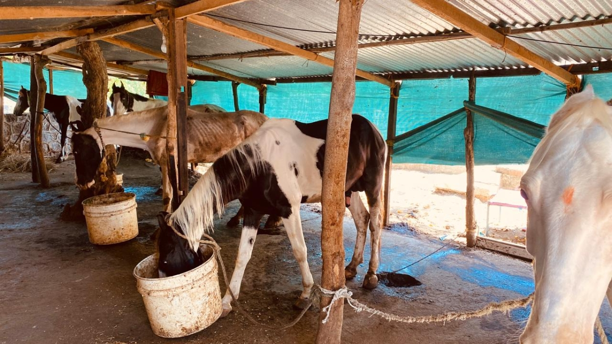 NGOs turn saviour for horses, give them food