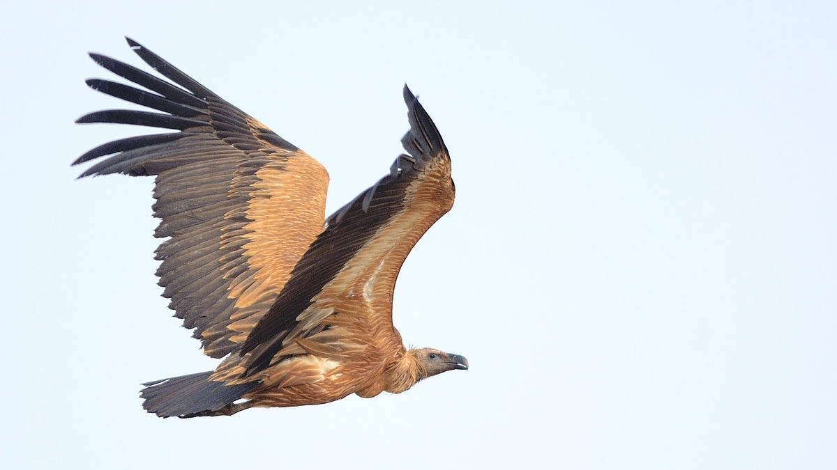 Vultures in MP are reviving but still threatened and facing threat of losing habitats