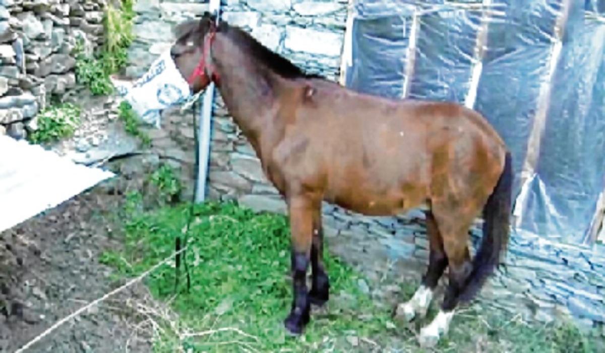 In a first, horse put under home quarantine in J&K