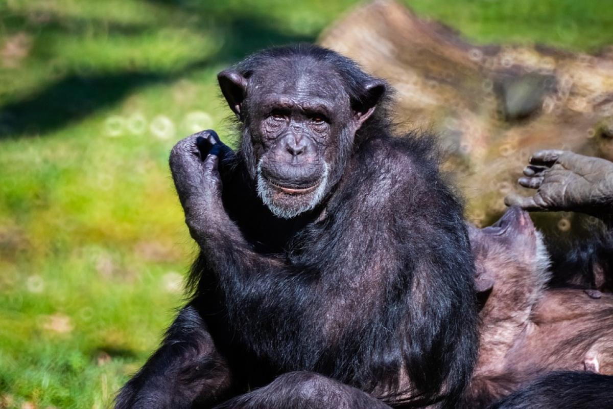 UK scientists link chimpanzee  lip-smacking to human speech