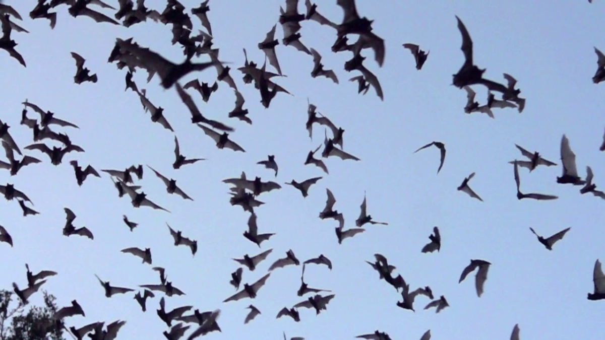 Large number of bats killed in Rajasthan over the fear of contracting COVID-19