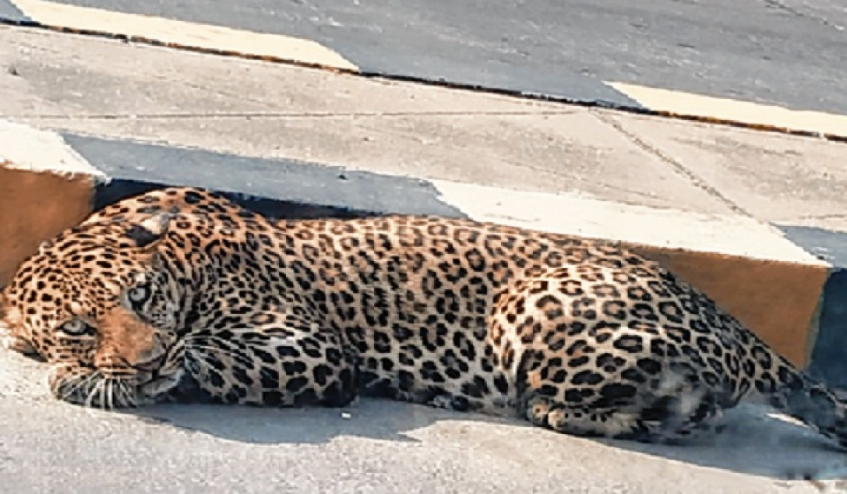 Leopard sighted near Hyderabad