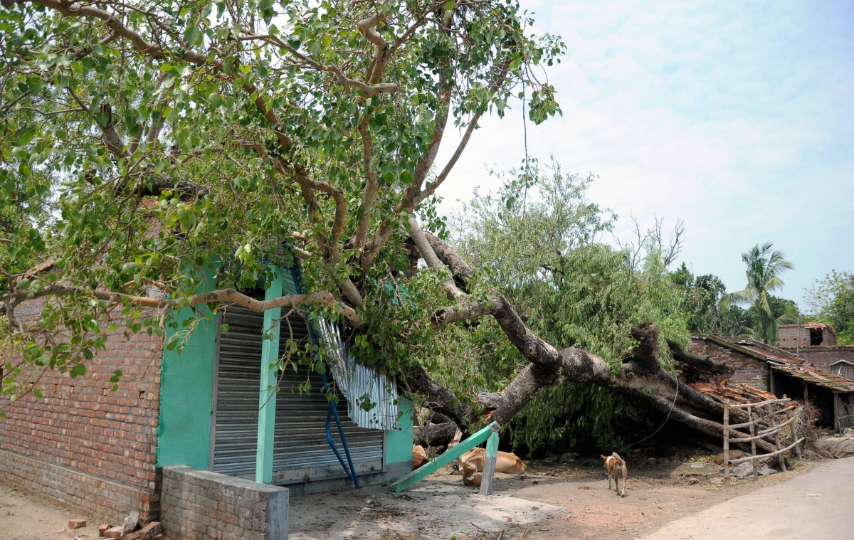 A tree fell on a hut during Cyclone Amphan, at Dhulbulia in Nadia district on Friday, May 22