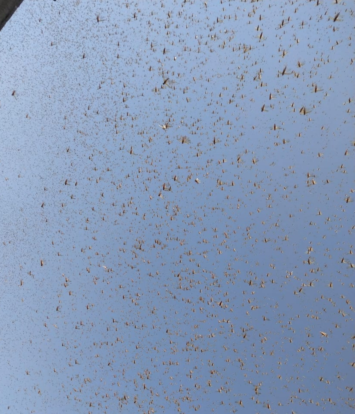 Locust swarms reach Maharashtra's Bhandara district; Uttar Pradesh, Punjab on high alert