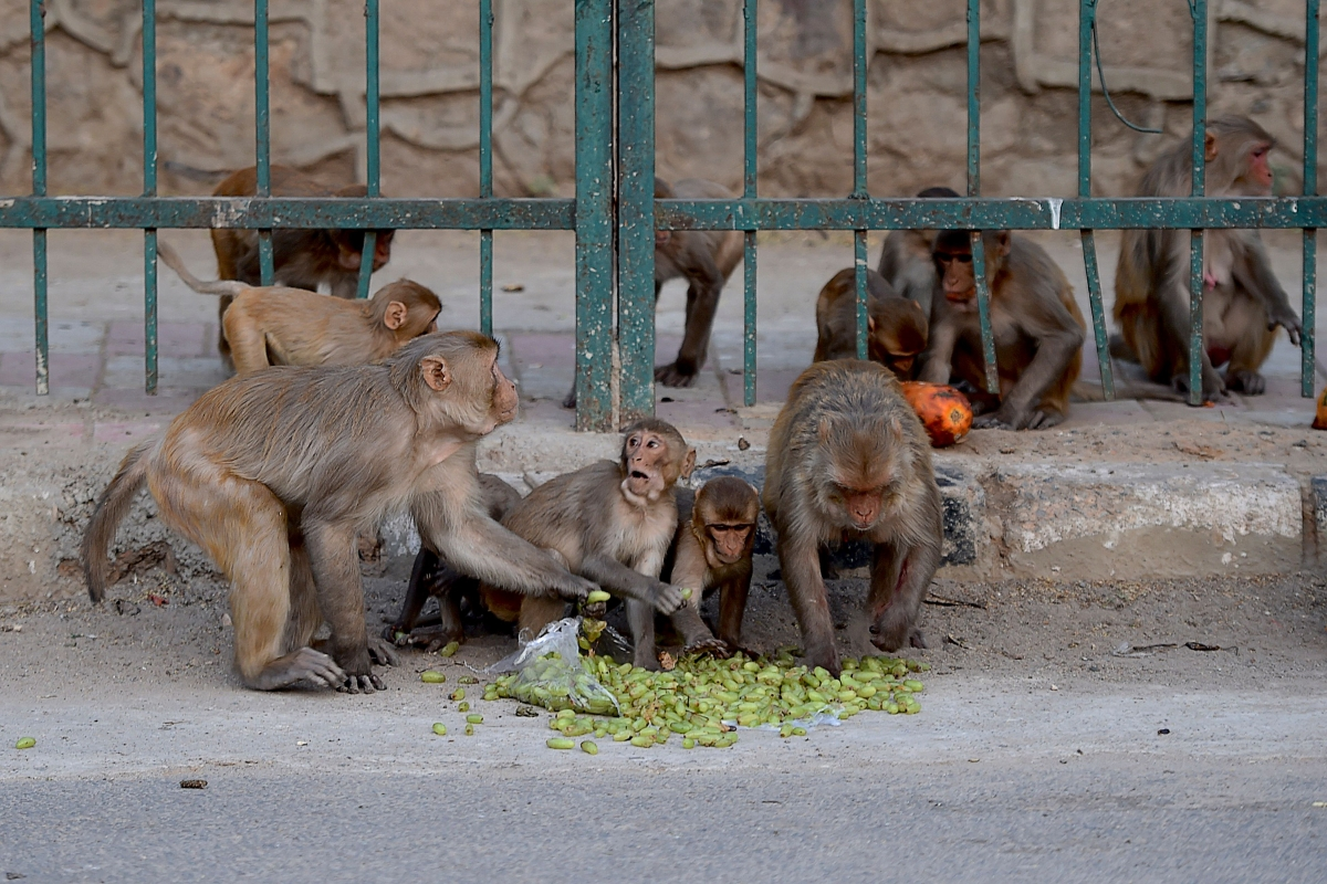 Monkey snatches Covid patients' blood samples, eats surgical gloves