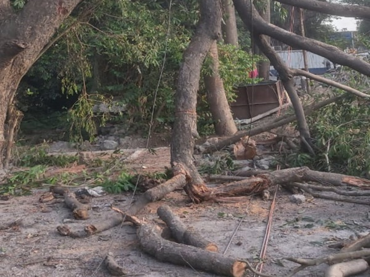 Unscientific pruning destroying city trees: Environmentalists