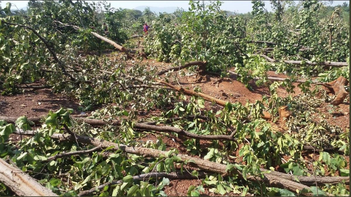 Brewery project destroying Jhinkargadi forest in Balarampur village, Odisha, India