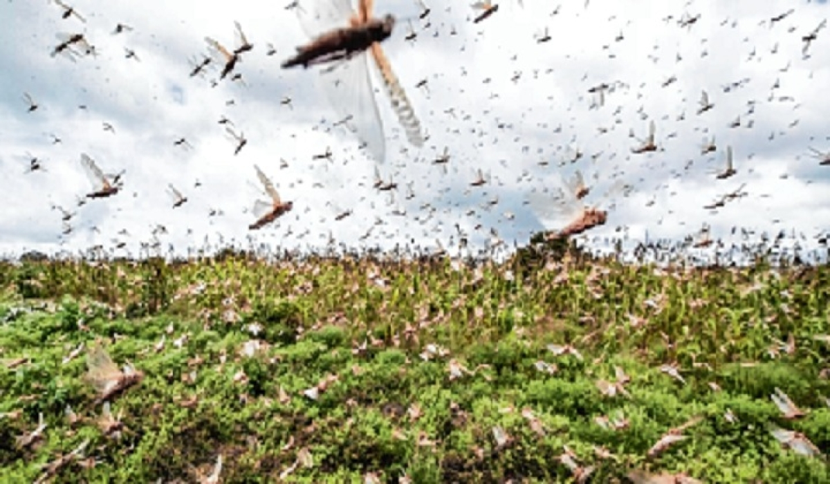 Locust menace: Chhattisgarh tillers, agriculture department on alert