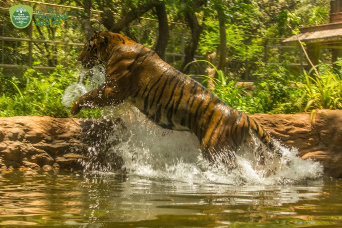 Mumbai: After tiger video goes viral, Byculla Zoo decides to have own YouTube channel