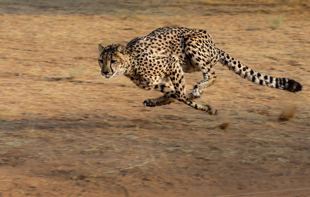 Cheetah-inspired fastest soft robots yet developed
