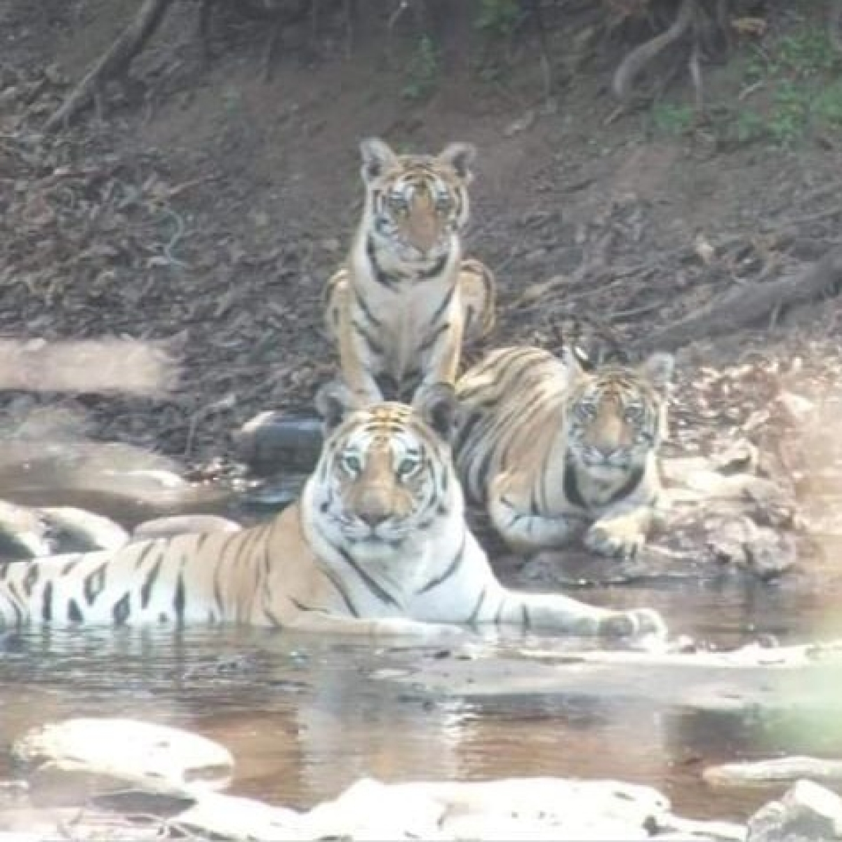 Major boost for Sahyadri tiger project
