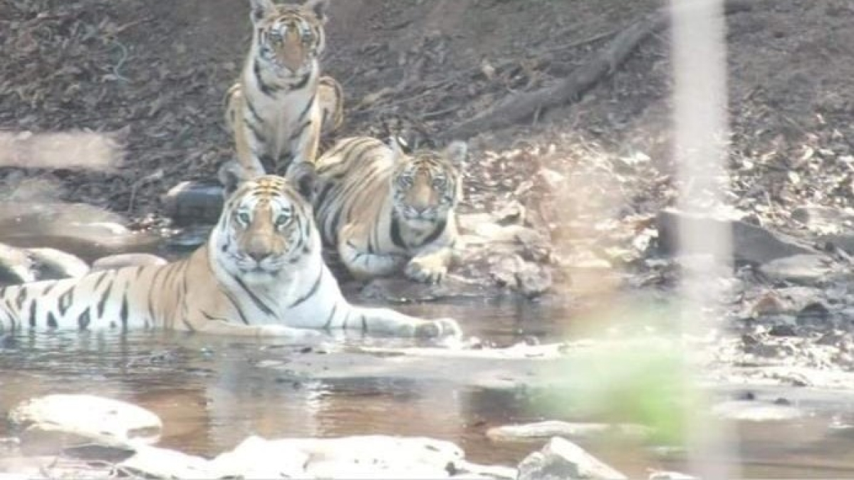 The new Tiger family seen in Nauradehi