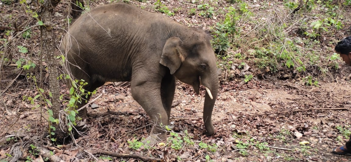 Maharashtra: Elephant calf rescued after falling in marsh is traumatised